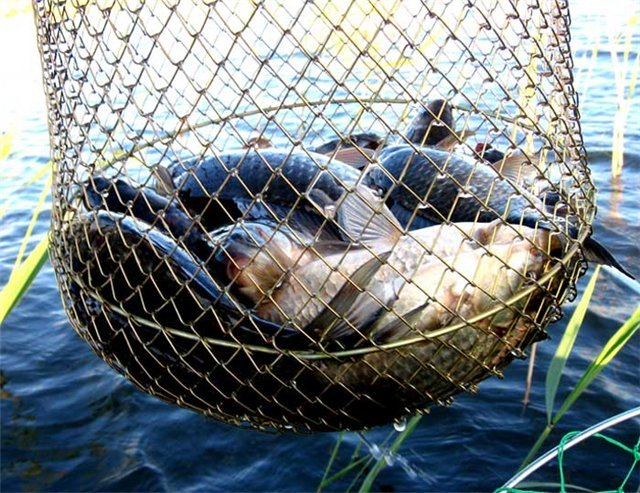 рыбы караси прикормка
